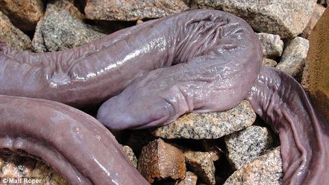 【閲覧注意】ブラジルで発見された新種のヘビがキモすぎわろたwwwwwwww